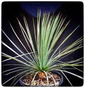 Yucca linearifolia galeana, stem/plant/total 10/45/68 cm (16L06)