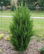 Zypressen Wacholder Spartan 60-80cm - Juniperus chinensis