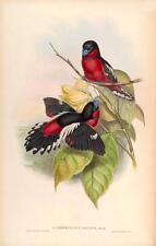 J GOULD reproduction imprimé oiseaux cymbirhynchus affinis des oiseaux de l'Asie. # 17