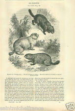 Vancouver Island Marmot Marmotte Quebec Canada / Poland GRAVURE OLD PRINT 1860