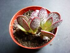 CHEAP Adromischus marianae (marianiae) HYBRID pullings -EXTREMELY RARE succulent