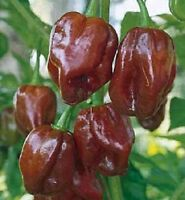 25 HABANERO SEEDS JAMAICAN HOT CHOCOLATE PEPPER SEEDS HABANERO PEPPER