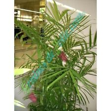 Palmier BAMBOU NAIN graines seeds palm
