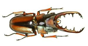 COLEOPTERA, LUCANIDAE, PROSOPOCOILUS SAVAGEI (large) from CAMEROON