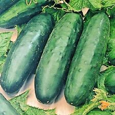 Vegetable Cucumber Marketmore Indoor/outdoor variety 20 seeds