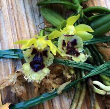 Taiwanese Miniature Orchid Species Haraella retrocalla Bs plant!