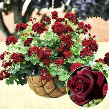 20 PCs Rare Geranium Flowers Seeds Black rose Pelargonium Hardy Plant Perennial