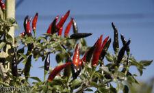 25+ Rare Organic Black Cobra Pepper Seeds-D 42