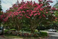 (4 pack) Arapaho Flowering Crepe Myrtle Trees-RED BLOOMS- Quart size-1 ft tall