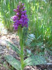 Dactylorhiza majalis Western Marsh Orchid hardy orchid tuber PP
