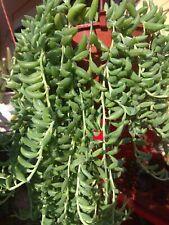 SENECIO RADICANS BANANA 2 x Esqueje 10cm Cutting String suculenta Succulent