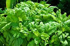 🌿 100 Samen Salatblättriges Basilikum Ocimum basilicum