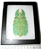 REAL LEAF MIMIC PHYLLIUM PULCHRIFOLIUM FEMALE FRAMED INSECT