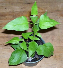 Calea zacatechichi Dream herb Live Plant Shaman potted plant