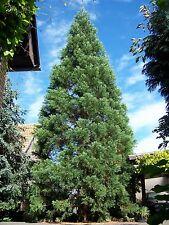 Riesenmammutbaum Sequoiadendron giganteum  50 Samen