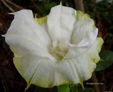 Datura Double Yellow picotee 10 seeds