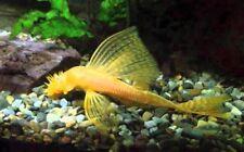 6 (six) x Ancistrus sp. Gold Long Fin (Catfish)