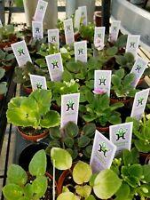 Miniature african violet plant