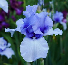 "TALL BEARDED IRIS GERMANICA ""EDGE OF WINTER"" Rhizome. Delivery August/September"