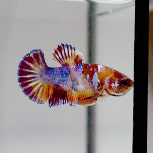 Live Betta Fish FeMale Fancy Multicolor HMPK  A Premium Thailand
