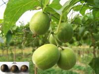 1 Pcs Momordica Grosvenori Fruit Seeds Liana Siraitia Organic Fresh Garden Plant