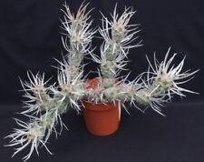 1 Cutting, Cactus Tephrocactus articulatus papyracanthus Spruce Cone Pine Cholla