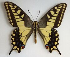 Papilio machaon oregonensis Oregon #143 Swallowtail Butterfly Insect Moth