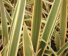15 graines Lin de Nouvelle Zélande Panaché(Phormium Tenax Variegatum)G440 SEEDS