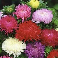 200 Duchess Peony Aster Flower Seeds - For Spring Plantings