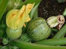 5 Samen Kugelförmige Zucchini Tondo Chiaro di Nizza sehr ertagreiche Pflanze