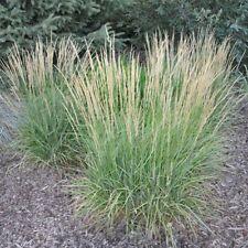 100 Reed Phragmites Australis Grass Seeds Rare Beautiful Decorative Garden Plant