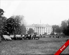 SHEEP FARM ANIMALS ON WHITE HOUSE LAWN PHOTO OLD TIME ART REAL CANVAS PRINT