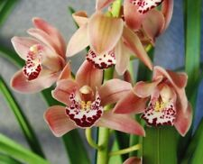 Cymbidium Show Off Pinkie x Cymbidium Sweet Sonca - 1 Spike - #360 large plant