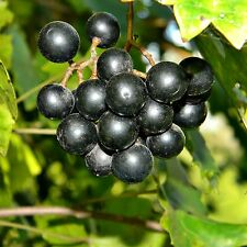 6 graines de MUSCADINE(Vitis Rotundifolia)H459 MUSCADINE GRAPE SEEDS SAMEN SEMI