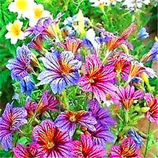 FD1662 Chile Morning Glory Seed Petunia Colorful Garden Flower ~1 Pack 30 Seed