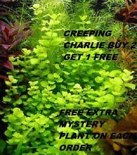 Creeping Charlie Bunch Live Aquarium Plants easy beginner plant BUY2GET1FREE