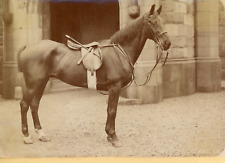 Cheval, Pur-sang, prêt à être monté  Vintage silver print,  Tirage argentique