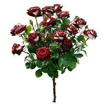 100 Pcs Rose Flower Seeds Red & White Rare Osiria Ruby Garden Plant Yard Tree