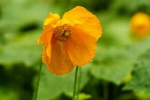Welsh Poppy Seeds - Organically grown -Meconopsis cambrica aurantiaca 50 seeds