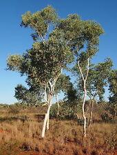 Eucalyptus alba WHITE GUM - COLD HARDY! SEEDS!