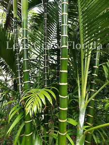 Dypsis cabadae Palm Tree Seedlings & Seed Live Rare Tropical