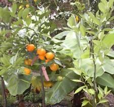 Tangerine Satsuma Mandarin Citrus Tree reticulata Grafted