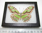 REAL FRAMED BUTTERFLY GREEN PHILAETHRIA DIDO VERSO PERU