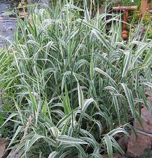 6 Glyceria maxima variegata (Variegated Ribbon grass) marginal pond plant