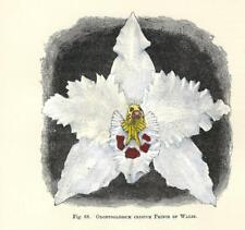 Stampa antica FIORI ORCHIDEA ODONTOGLOSSUM CRISPUM P botanica 1896 Antique print