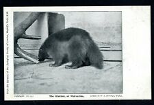 PC  ANIMAL , THE GLUTTON OR WOLVERINE  LONDON ZOO BY BERRIDGE No15