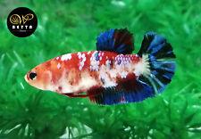 LIVE BETTA FISH FEMALE RED ORANGE KOI GALAXY FANCY HALFMOON PLAKAD HMPK (PKF33)
