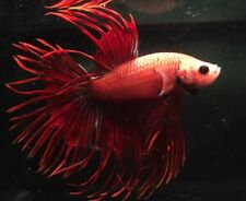 Fancy Betta Splendens - Crowntail - Assorted - Tropical - Live Fish - Siamese