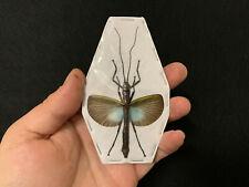 Orthomeria superba A1 étalé!! Phasme / Phasmidae Insecte / collection
