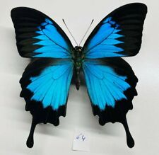 Papilionidae Papilio ulysses mâle a1 XXL mounted ceram